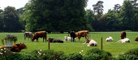 Cattle seen from the garden