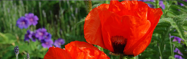 Poppies at Uplands